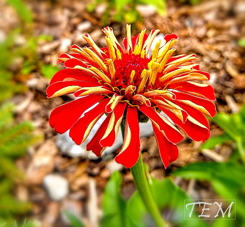 A red and yellow flower - a Common Zinnia.